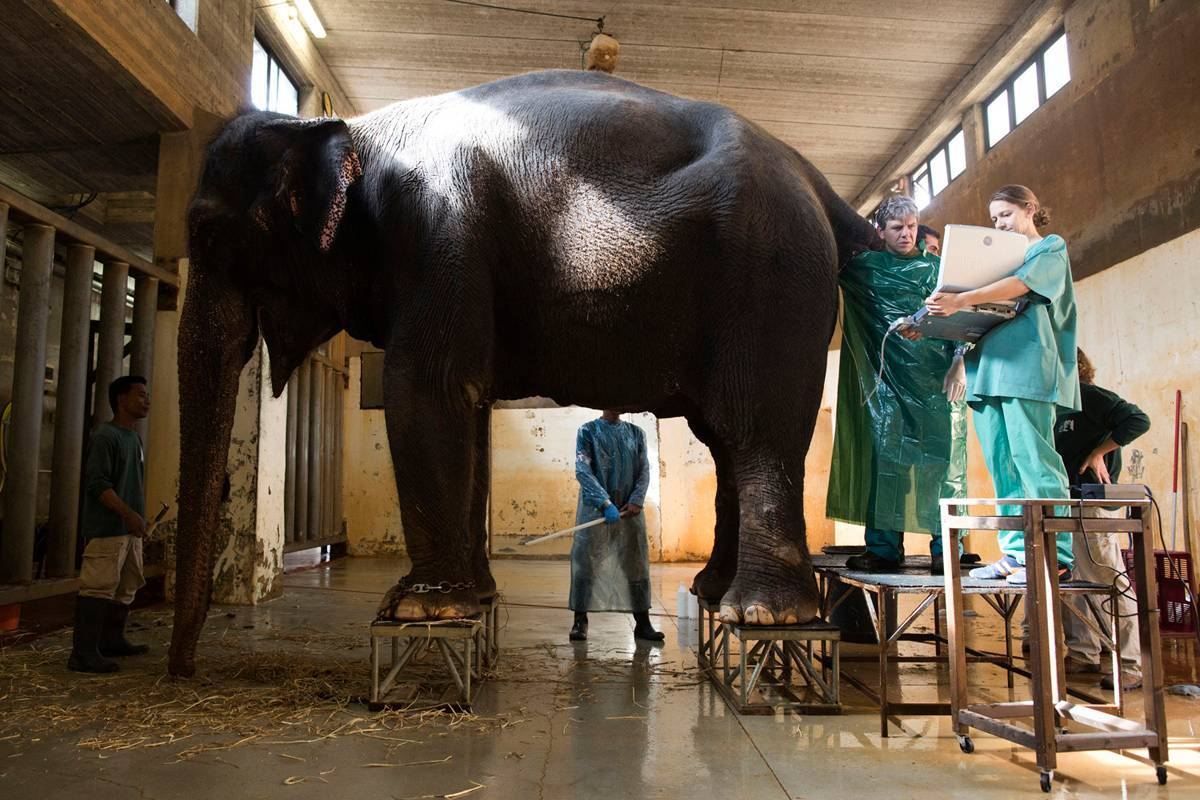 הפילה תמר במהלך טיפול הפרייה בגן החיות התנ״כי