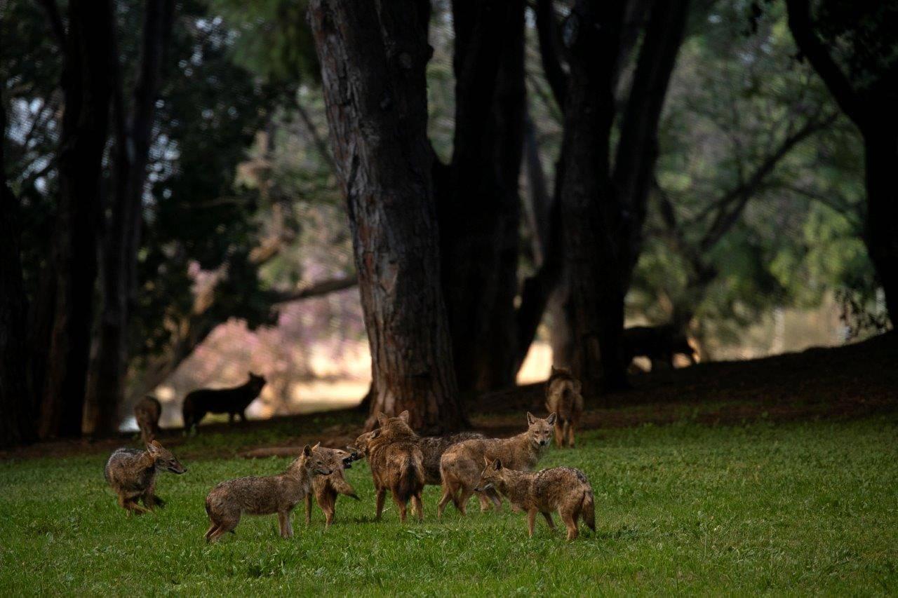 תנים בפארק הירקון